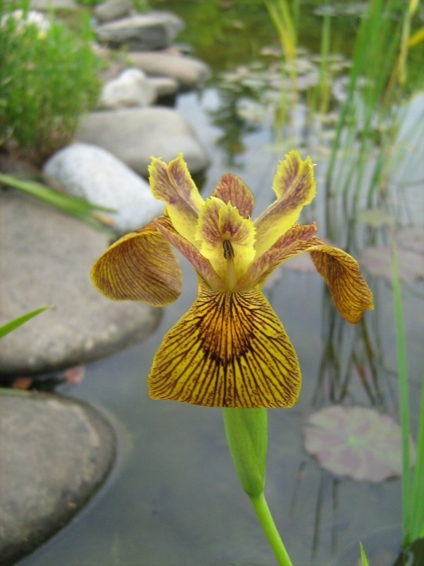 Iris pseudacorus 'Berlin Tiger' 'Berlin Tiger' bears eye-catching yellow flowers with brown markings. The rhizomes should be divided every two years, after the plant has flowered in June. Repinned by www.claudiadeyongdesigns.com