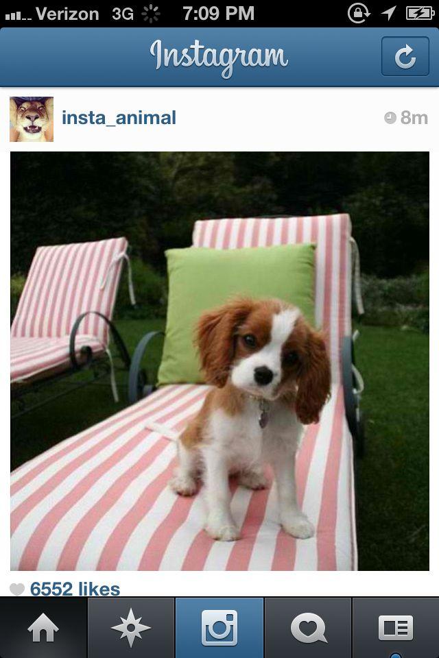 Cute King Charles cavalier spaniel puppy.