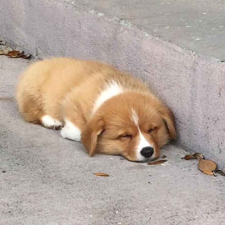 Stairs Are Just Too Tiring To Climb Corgi Puppies Kitties