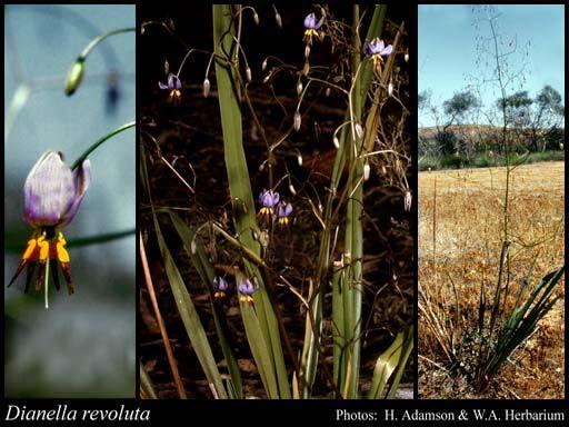 Dianella revoluta native flax/blueberry lily H 1m FS/PS/S Aug/Jan-Apr SP-SU blue