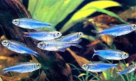 super blue kerri tetra | Aquarium | Pinterest | Blue