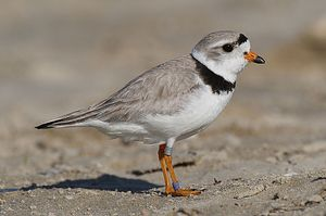 I got Piping Plover! What Kind Of Bird Are YOU?
