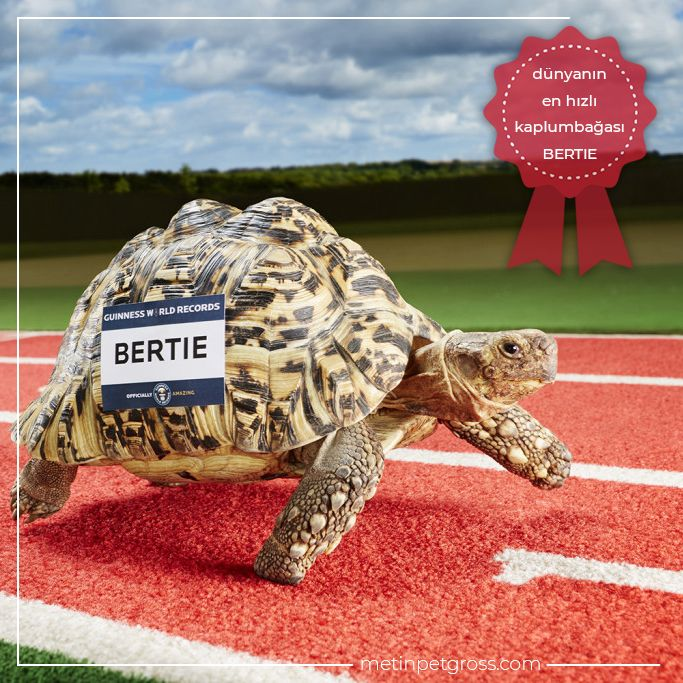 Saniyede 28 santimetre yol kateden Bertie isimli kaplumbağa, dünyanın en hızlı kaplumbağası olarak Guinness Rekorlar Kitabı'na girdi.    #kaplumbağa #tortoise #animallover #animal #instagood #hayvansevgisi #instalike #prilaga #Turkey #ilginçbilgiler #doğa #nature