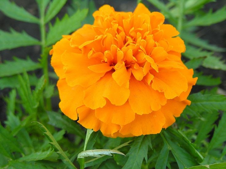 A lovely orangeTagetes!  A post on four English words for graduate entry tests, with comments