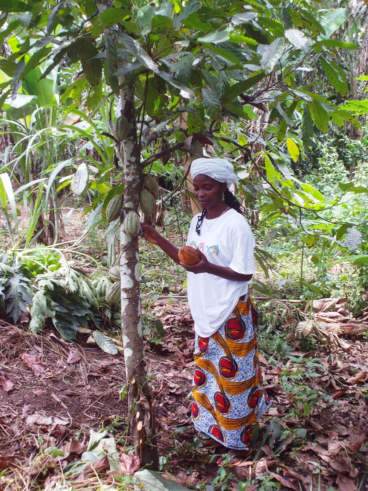 Cacao Grows Well In The Liberian Forests