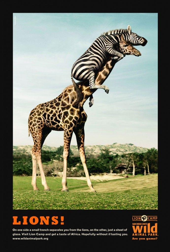 M&C Saatchi | San Diego Zoo | Zebra On Giraffe