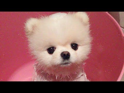 Cute Animals No 1 Youtube Pomeranian Puppy Cute Animals Baby