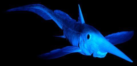 geo / Pinocchio der Tiefsee? Die Langnasenchimäre (Rhinochimaera pacifica) ist eine urtümliche Knorpelfischart, die mit den Haien und Rochen verwandt ist. ist Sie ernährt sich von Bodentieren wie Garnelen und Krebsen, die sie im Schlamm aufspürt.  Senckenberg Naturmuseum