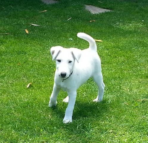 Junior, Fox-Terrier
