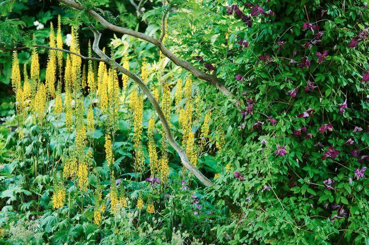 Under den kinesiska sekvojans, Metasequoia glyptostroboides,  knotiga grenverk alldeles vid ån i Klosterparken sträcker gullstavarna Ligularia sina gyllengula spiror mot himlen. Gullstavens vertikala form framhävs av kontrasten gentemot de grövre grenarnas vridna, nästan horisontella uttryck. Det hela accentueras av viticella-klematisens Clematis 'Södertälje' flata lila blommor som mjukt klär in trädstammen.