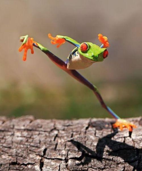 Red-eyed tree frog - or Ninja frog.... - via Annie Lee's photo