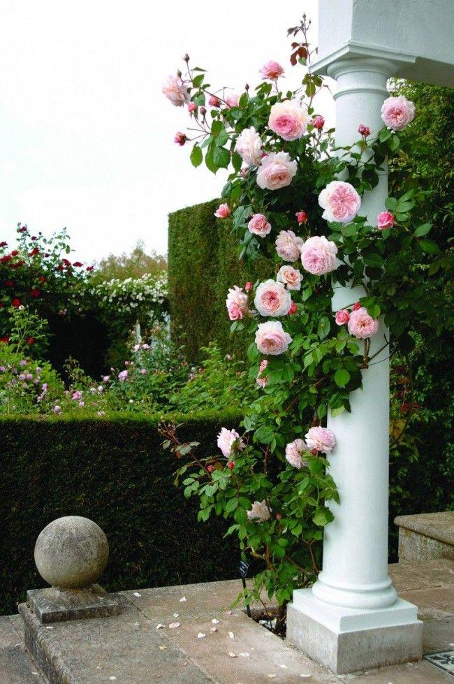 HappyModern.RU   Вьющиеся розы (59 фото): уход за аристократической красавицей   http://happymodern.ru
