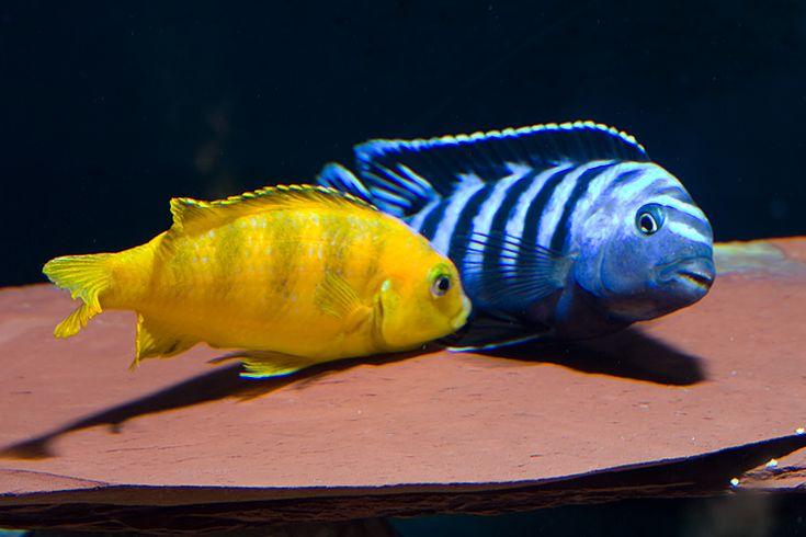 Pseudotropheus Saulosi Taiwanee Reef Male Female