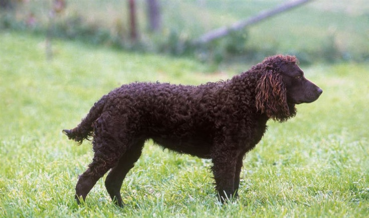 "American water spaniel.  His origins are a mystery, but he may be a descendant of the now-extinct English water spaniel. The AWS was developed in the mid-19th century in the Wolf and Fox River Valley region of Wisconsin. After World War II, interest in the dogs waned, but Dr. Fred J. Pfeiffer singlehandedly brought them back, primarily by promoting the dogs as ""distinctively an American production."" The American water spaniel is now the official state dog of Wisconsin."