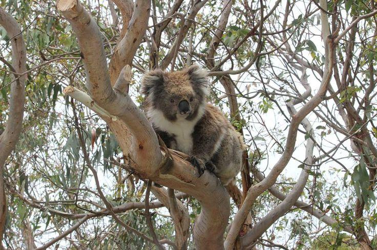 673 best images about animals koala on pinterest mothers. Black Bedroom Furniture Sets. Home Design Ideas