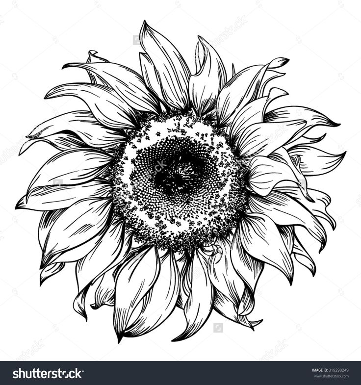 Hand Drawn Realistic Vintage Sunflower Pen And Ink Drawing On ...