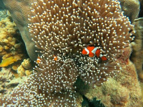 Clown Fish / Ikan Badut / Nemo | Ikan badut, Ikan