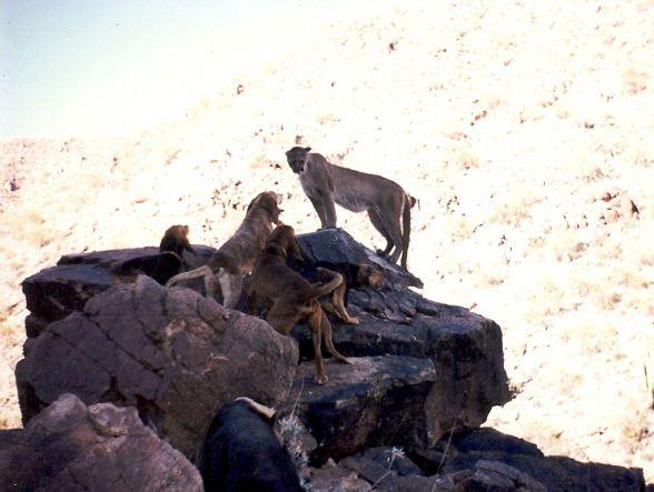Cougar Hunting Dog Breeds