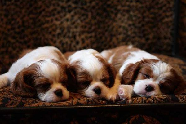 Best Dogs Puppies For Sale In London 2020 Uk King Charles