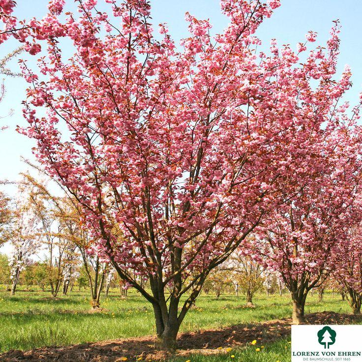 Prunus serrulata 'Kanzan' | Baumschule Lorenz von Ehren - Baumschulen seit 1865 - Wir lieben Bäume