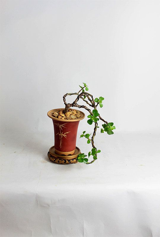 "Jade bonsai tree ""Winter Jade Collection"" by LiveBonsaiTree by LiveBonsaiTree on Etsy"