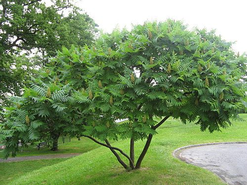 Beplanting: Rhus typhina - Fluweelboom. Het geveerde blad is tropisch aandoend.