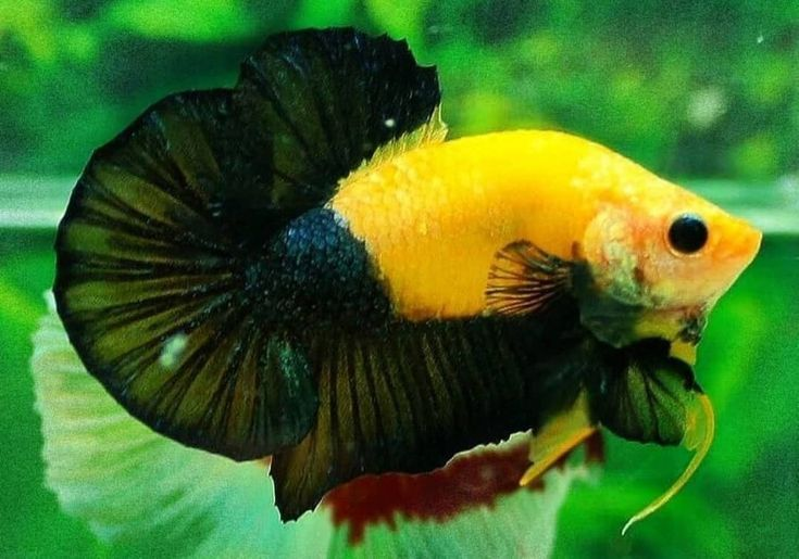 Types Of Oscar Fish Review My Pet Articles Oscar Fish Tiger Oscar Fish Cichlid Fish
