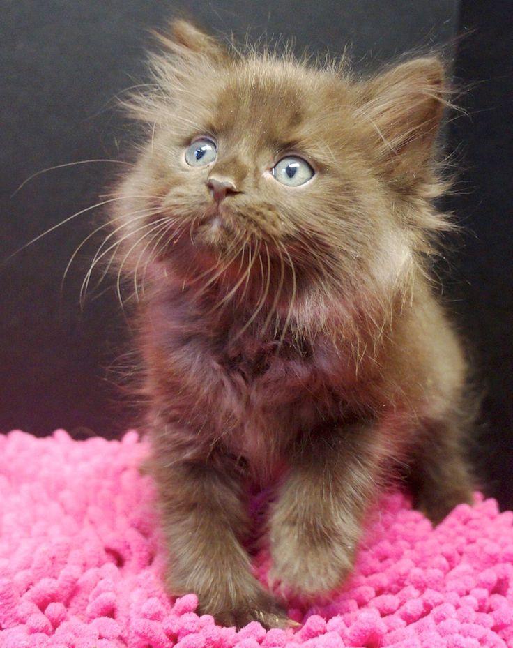 solid chocolate ragdoll kitten