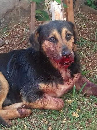 Petition: JUSTICE FOR BUD - cruel students lit up fire crackers in his mouth, Brazil > https://www.change.org/p/polícia-civil-do-estado-do-paraná-justice-for-bud-cruel-students-lit-up-fire-crackers-in-his-mouth