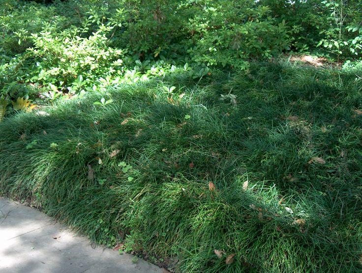 Ophiopogon japonicus  / Ophiopogon japonicus  - OnlinePlantGuide.com 5725