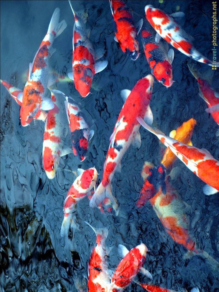 141 Best Fish Koi Images On Pinterest Koi Carp Japanese