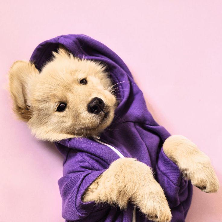 Dicas para fotografar cachorros: edite suas fotos. Por Delicia de Blog. Na imagem, golden retriever filhote de moletom roxo.