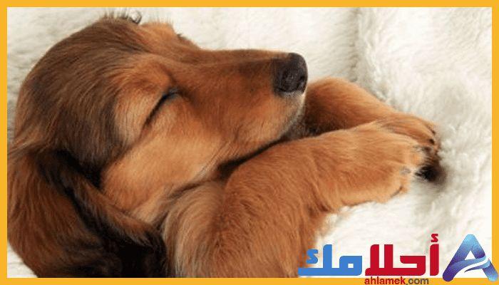 رؤية الكلاب في المنام وتفسير مطاردتها في الحلم Golden Retriever Animals Retriever
