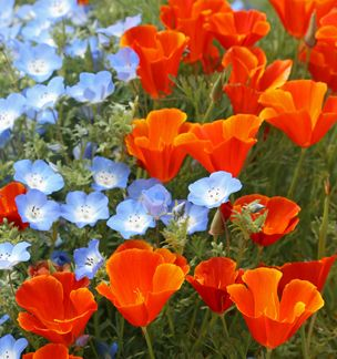 """Eschscholzia 'Red Chief'   """"Red California Poppy"""" Radiant 2"""" tangerine-red, fiery California poppies contrast so pleasingly with Nemophila menziesii """"Baby Blue Eyes"""" & draw the eye wherever they're planted. Blooms Spring thru Summer – deadhead for extra long bloom."""