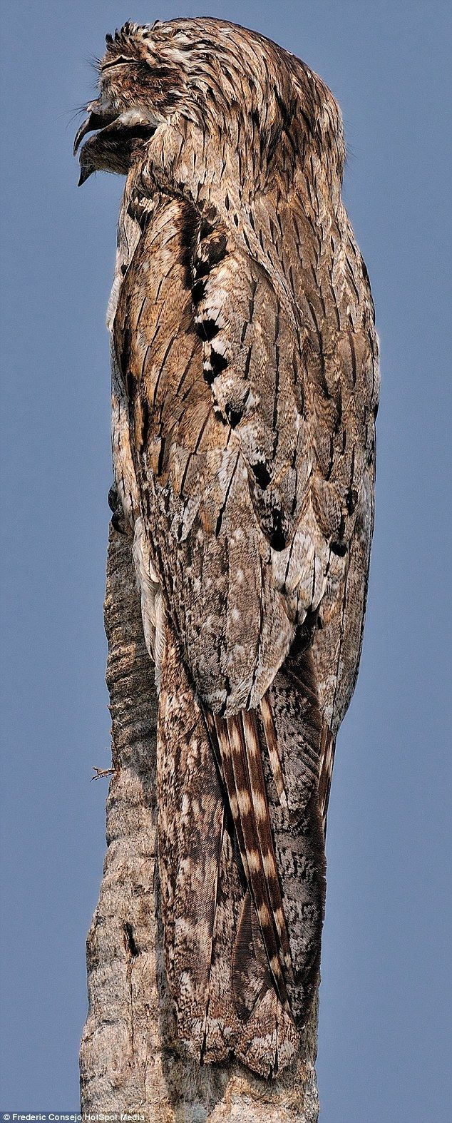 Northern potoos camouflage themselves on tree stumps during the day