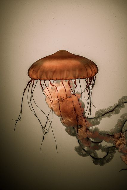 Very nice jellyfish image...