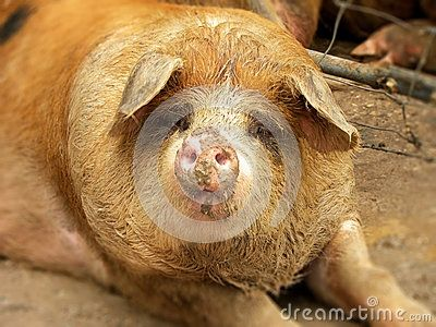 A close-up view of a pig in a sty.
