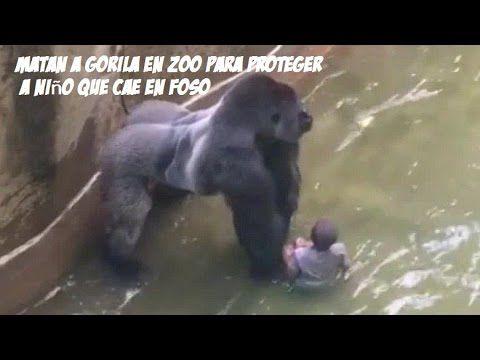 Matan a Gorilla en Zoo de Concinatti para proteger a niño que cayo en su...