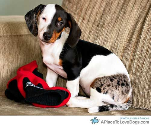 3month old daschund puppy: Animals, Dogs, Dachshund, Pets, Puppy, Fur Patterns, Unusual Markings, Extraordinary Fur