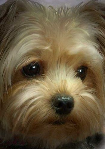 Cute Pretty Yorkshire Terrier Puppy ♡... re-pin by www.StoneArtUSA.com ~ affordable custom pet memorials for everyone.