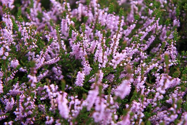Heathers are often overlooked when choosing plants for the garden, but this is a…