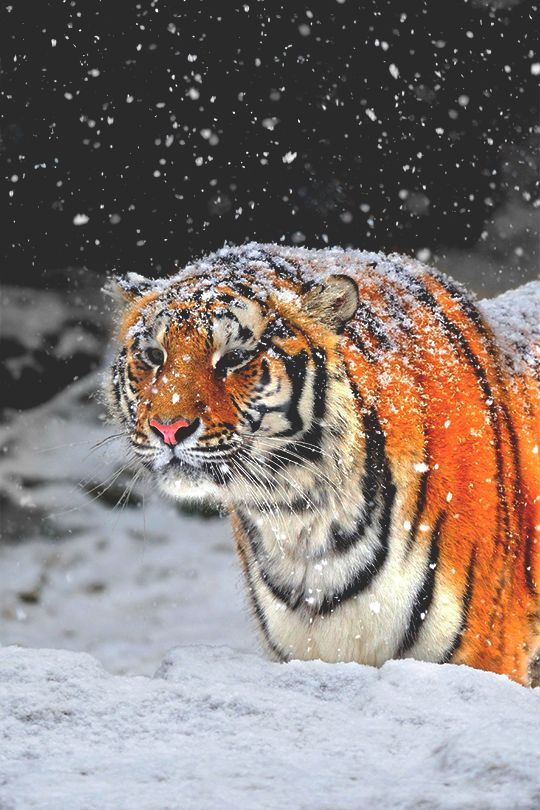 Tigere siberiano