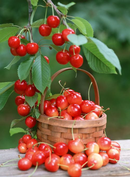 my favorite fruits are cherries and plums.  I have a plum tree but not a cherry tree.