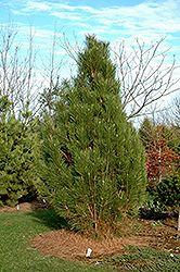 Click to view full-size photo of Arnold Sentinel Austrian Pine (Pinus nigra 'Arnold Sentinel') at Oakland Nurseries Inc 20x5