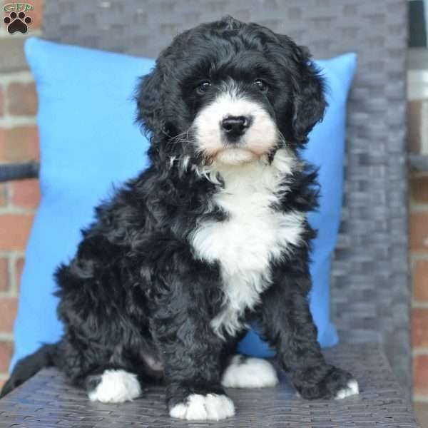 Princess Bernedoodle Puppy For Sale In Ohio Bernedoodle Bernedoodle Puppy Mini Bernedoodle