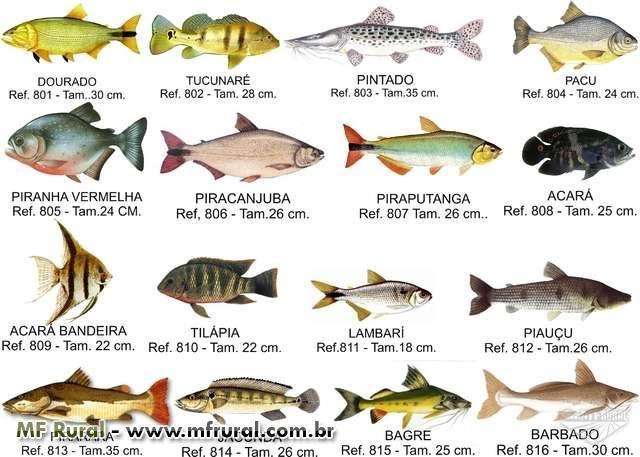 vendas de filhote de peixes de todas as especies em São João da Boa Vista SP V