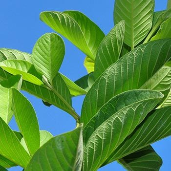 17 Best Benefits Of Guava Leaves For Skin, Hair And Health