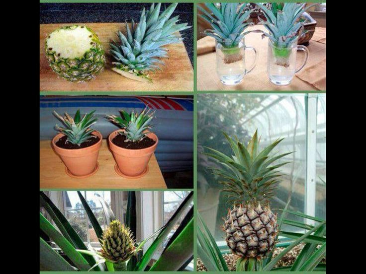 How can you plant pineapple
