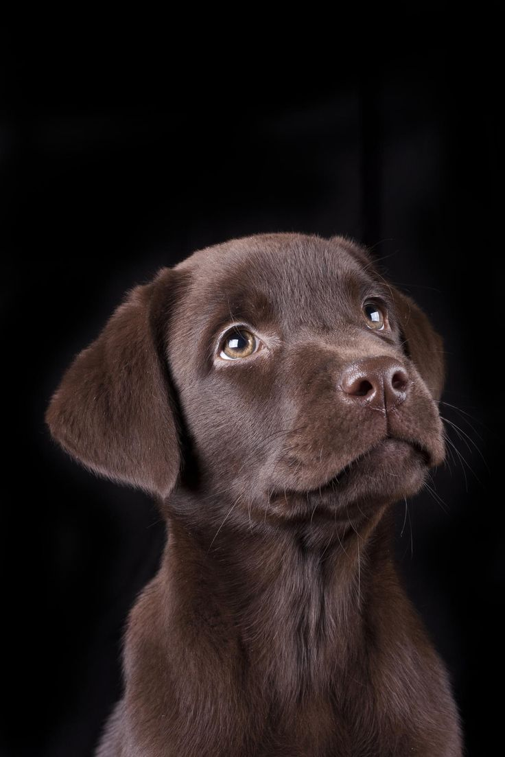 Minttu by Ville Pouhula on 500px Chocolate Labrador retriever puppy labs