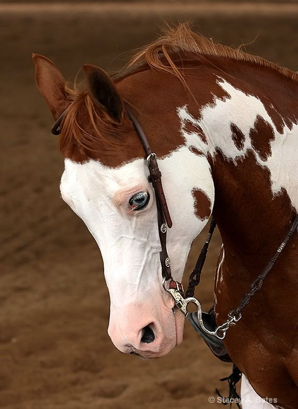 Arabian Horse Show - Western Competition